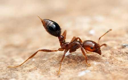 Есть у муравьев член