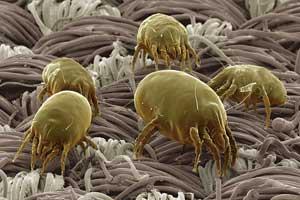 Пылевые клещи причина аллергии на пыль
