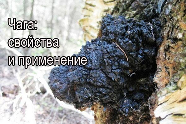 На фото: берёзовый гриб чага