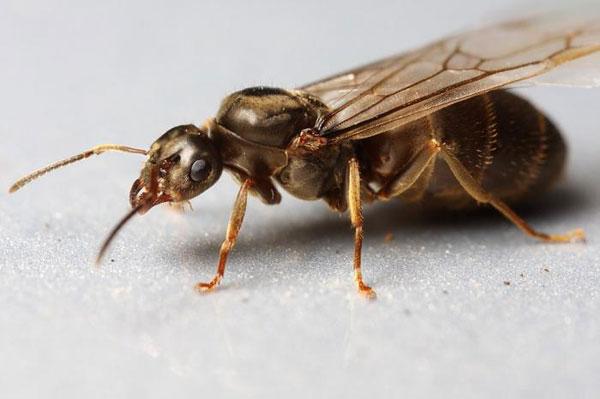 Летающие муравьи в доме. Как избавиться?