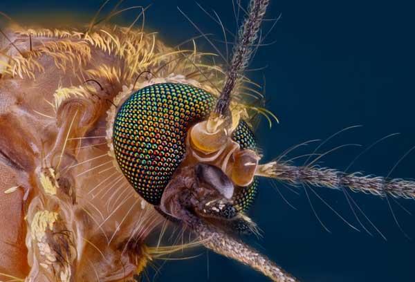 Генетически модифицированные комары