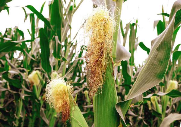 Кукурузные рыльца: лечебные свойства и применение