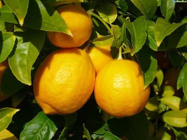 В чем польза лимонов