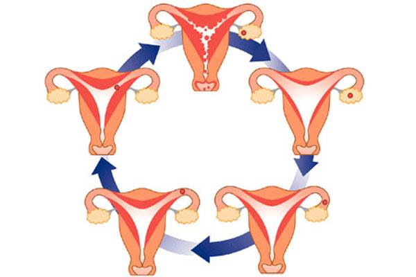 менструальный цикл и калькулятор овуляции