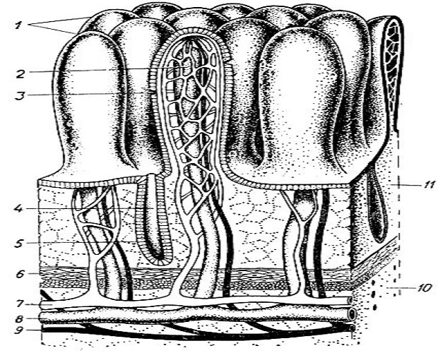 Схема строения кишечных