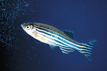 Рыба данио-рериа
