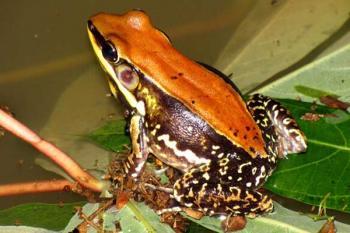 Кожная слизь обитающей в Южной Индии лягушки Hydrophylax bahuvistara содержит соединение, которое убивает бактерии и вирусы.
