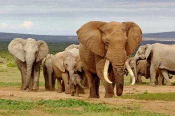 Слон африкансикй