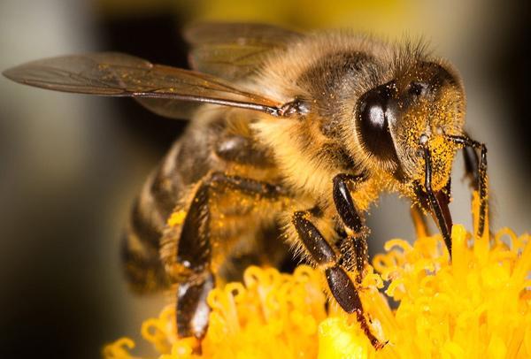 Целебные свойства пчелиного яда