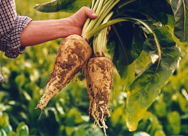 Польза цикория. На фото гигантский корень цикория