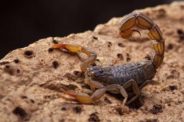 Скорпион приготовился жалить