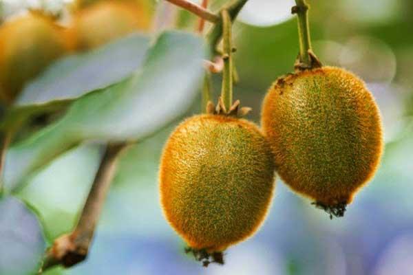Плоды фрукта киви
