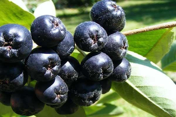 Фото черноплодная рябина