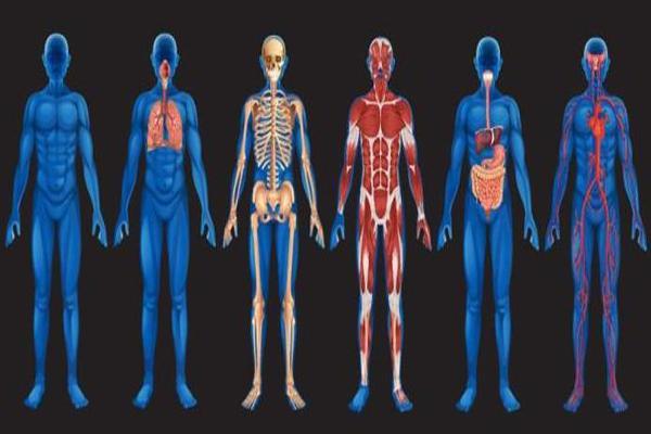 Организм человека как система