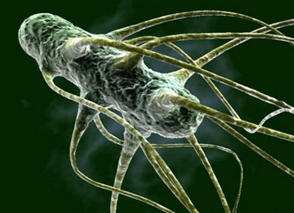 бактерия сальмонеллы