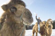 Верблюды заразили людей вирусом простуды