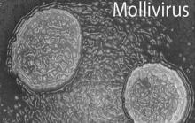 """Mollivirus sibericum, """"новый старый"""" гигантский вирус, чей возраст превышает 30000 лет, был обнаружен в вечной мерзлоте в Сибири"""