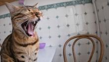 Кошка проявляет агрессию