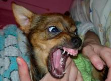 если укусила маленькая собака