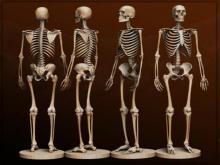 Развитие костной системы человека