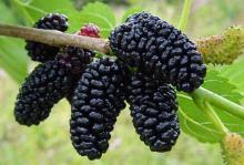Чем полезны ягоды шелковицы