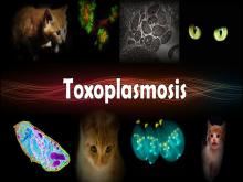 Токсоплазмоз: симптомы, лечение, описание